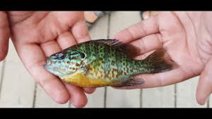Pumpkin Seed Sunfish Pictures by Lafarge Lake Catch And Cook Pumpkinseed Sunfish Youtube