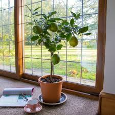 üppigen zitronenbaum als zimmerpflanze zu pflegen ist kein