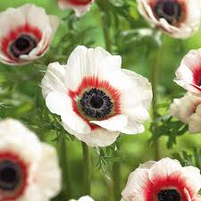 zyverden wind flowers bulbs anemone bi color set of 25 21416
