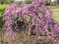 Image Of Cercis Canadensis Var Texensis Traveller