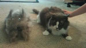 Siberian Cat Hair Shedding by The Result Of Brushing My Siberian Husky Pics