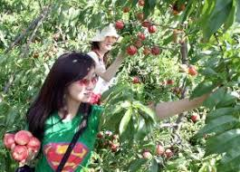 Best Pumpkin Apple Picking Long Island Ny by Best Apple Picking Orchards Farms In New York New Jersey Cbs