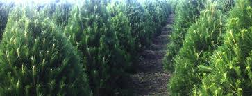 100 For Sale Adelaide Hills Christmas Trees
