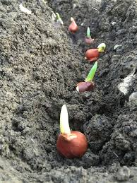 rescuing already sprouted tulip bulbs offbeat home