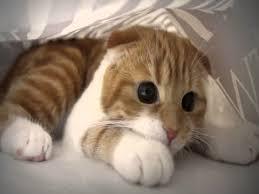 munchkins cats munchkin cat breed information about legged munchkin cats