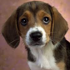 Dogs That Shed Hair by The Dog In World Beagle Dogs