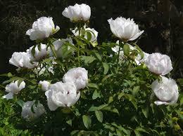 pivoine herbacee en pot pivoine arbustive paeonia suffruticosa