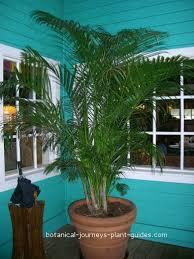 golden palm in pots palm tree care veitchia merrillii manila palms