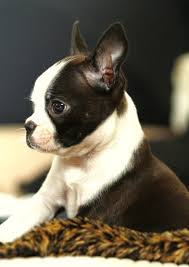 Dog Breeds That Dont Shed List by Best 25 Dog Breeds That Dont Shed Ideas On Pinterest Puppies