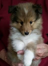 best 25 sheltie ideas on pinterest shetland sheepdog shetland