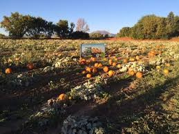 Colorado Pumpkin Patch by Pumpkin Patches In And Around Denver 2017 The Denver Ear