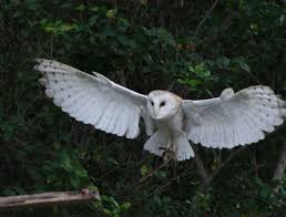 Barn Owls: Creepy But Cute - Gallery   EBaum's World Barn Owl Tyto Alba 4 Months Old Flying Stock Photo Image Beauty Of Bird Our Barn Owl The Tea Rooms Chat Rspb Community A Flying At Folly Farm In Pembrokeshire West Wales Winter Spirit By Hontor On Deviantart Audubon Field Guide Vector 380339767 Shutterstock Wallpaper 12x800 Hunting A Royalty Free Tattoos Tattoo Ideas Proyectos Que Debo Ientar