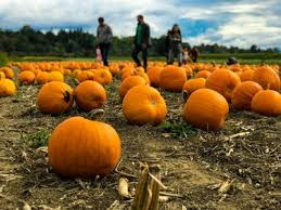 Livermore Pumpkin Patch by Joans Farm And Pumpkin Patch Livermore United States Pictures