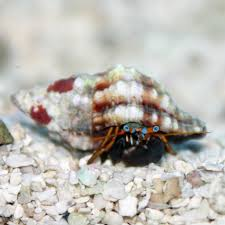 Do Hermit Crabs Shed Their Body by Orange Claw Hermit Crab Calcinus Tibicen Small Thatpetplace Com