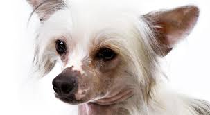Dogs That Shed The Least by Chinese Crested Dog Breed Information American Kennel Club