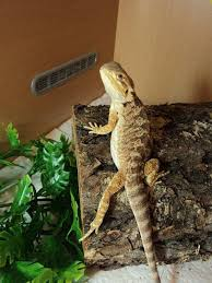 Bearded Dragon Heat Lamp Amazon by 140 Best Bearded Dragons Images On Pinterest Dragon Pet