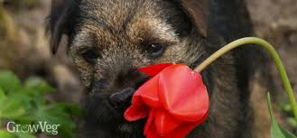 Do Border Terriers Shed by How To Make Your Garden Dog Friendly