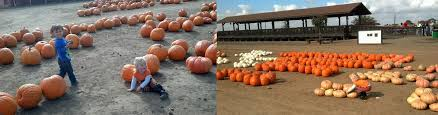 Apple Hill Pumpkin Patches Ca by Best Pumpkin Patches In Northern California