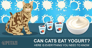 cats and yogurt can cats eat yogurt here is everything you need to petazi