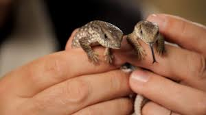 Do Leopard Geckos Shed by 5 Cool Facts About Leopard Geckos Howcast The Best How To