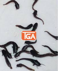 Fast Growing Catfish Fingerlings For Sale