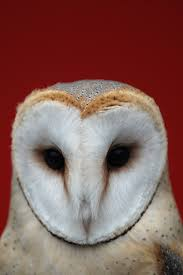 Israelis And Palestinians Find Common Ground In Barn Owls | Inverse Barn Owl Facts About Owls The Rspb Bto Bird Ring Demog Blog October 2014 Chouette Effraie Lechuza Bonita Sbastien Peguillou Owl Free Image Peakpx Wikipedia Barn One Wallpaper Online Galapagos Quasarex Expeditions Hungry Project Home Facebook Free Images Nature White Night Animal Wildlife Wild Hearing Phomenal Of Nocturnal Wildlife Animal Images Imaiges