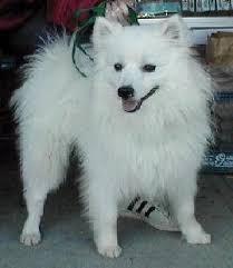 Toy American Eskimo Dog Shedding by Untitled Document