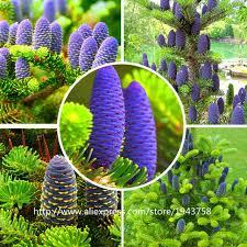 50 Pcs Abies Seedskorean FirNordmann Fir Christmas Tree Conifer
