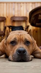 Cane Corso Mastiff Shedding by 100 Cane Corso Puppy Shedding Cane Corsos K9 Dogs Muzzle