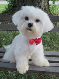 Haircut Maltese Dog Haircuts Home Design New Lovely In Design A