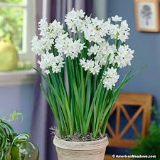 paperwhite bulbs ziva narcissus tazetta american
