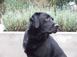 Chesapeake Bay Retriever Shed Hunting by Labrador Lab Retriever Wallpaper Puppy Pictures Breed Info