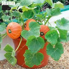 Organic Pumpkin Seeds Australia by Online Buy Wholesale Pumpkin Vegetable From China Pumpkin
