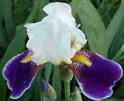 irises bearded irise bare root rhizomes iris bulbs
