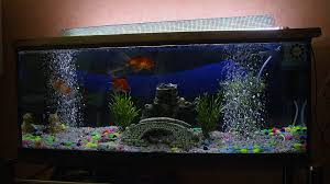 le site du poisson bulleur pour aquarium poisson