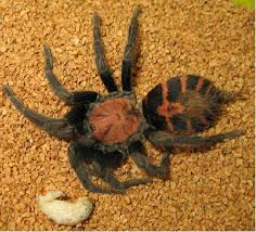 Do Tarantulas Molt Upside Down by Caring For Your New Tarantula With Pictures