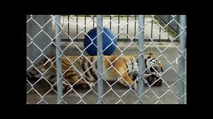 UPDATE 1 - May 12, 2011 FREE Tony Truck StopTiger Grosse Tete LA ... 45 Tiger Truck Stop Trucker Jims Truckin Journey Youtube The Is Here To Stay Vice Kept At Iberville Parish Truck Stop Dies Tony The Update Owner Plans Pursue Another Tiger Stuff For Free Jobyronkuhnercom Kept At For 17 Years Dies But Legal Battle Isn September 28 2015 2 Louisiana Cdllife Abandoned Sign Along I2 Flickr