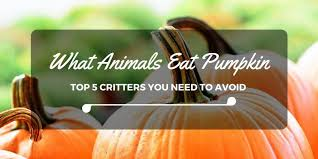 Can Rabbits Eat Roasted Pumpkin Seeds by What Animals Eat Pumpkin Top 5 Critters You Need To Avoid