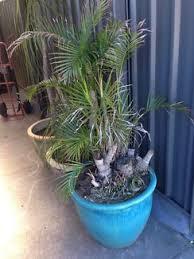golden palm in pots golden palms in pots plants gumtree australia gold coast