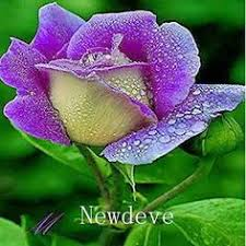 blue pink flower seeds 30 home garden plants outdoor free