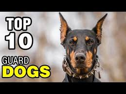 Best Guard Dogs That Dont Shed by Top 10 Best Guard Dogs Youtube