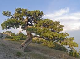Juniper Tree Varieties – Is Juniper A Tree Or Bush Garden Design With Backyard Trees Privacy Yard A Veggie Bed Chicken Coop And Fire Pit You Bet How To Illuminate Your With Landscape Lighting Hgtv Plant Fruit Tree In The Backyard Woodchip Youtube Privacy 10 Best Plants Grow Bob Vila 51 Front Landscaping Ideas Designs A Wonderful Dilemma Ramblings From Desert Plant Shade Digital Jokers Growing Bana Trees In Wearefound Home 25 Potted Ideas On Pinterest Indoor Lemon Tree