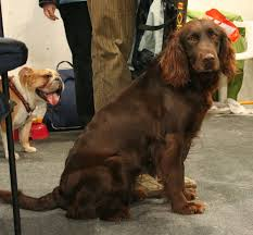 Springer Spaniel Shed Hunting by German Spaniel Wikipedia