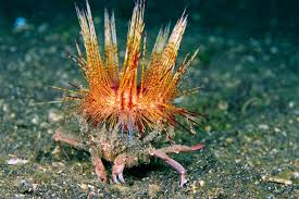 decorator crabs eat fish zoologger decorator crabs accessorise to avoid being eaten new