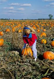 Pumpkin Picking Nj Corn Maze by Corn Field Maze Halloween Pictures History Of Halloween