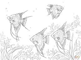 Click The Freshwater Angelfishes Coloring Pages