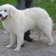 Top Dogs That Dont Shed Hair by 21 Awesome Dog Breeds You U0027ve Never Heard Of And Need To Know About