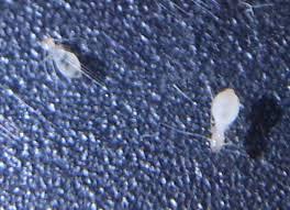 kleine weiãÿe insekten