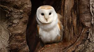 Barn Owl - National Geographic Watch The Secret To Why Barn Owls Dont Lose Their Hearing 162 Best Owls Images On Pinterest Barn And Children Stock Photos Images Alamy Owl 10 Fascating Facts About Species List Az 210 Birds Drawing Photographs Of Cave By Tyler Yupangco 312 Beautiful Birds