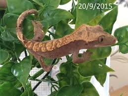 Crested Gecko Shedding Info by 12 Month Old Crested Gecko Newton Aycliffe County Durham
